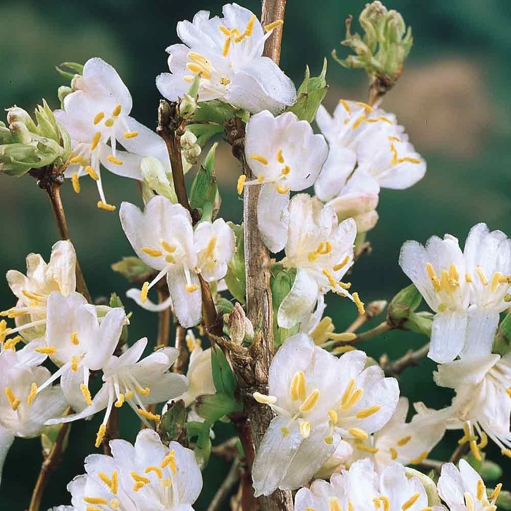 Lonicera purpusii winter beauty hannahs wildlife garden scented winter flowering honeysuckle winter beauty lonicera purpusii from j izmirmasajfo