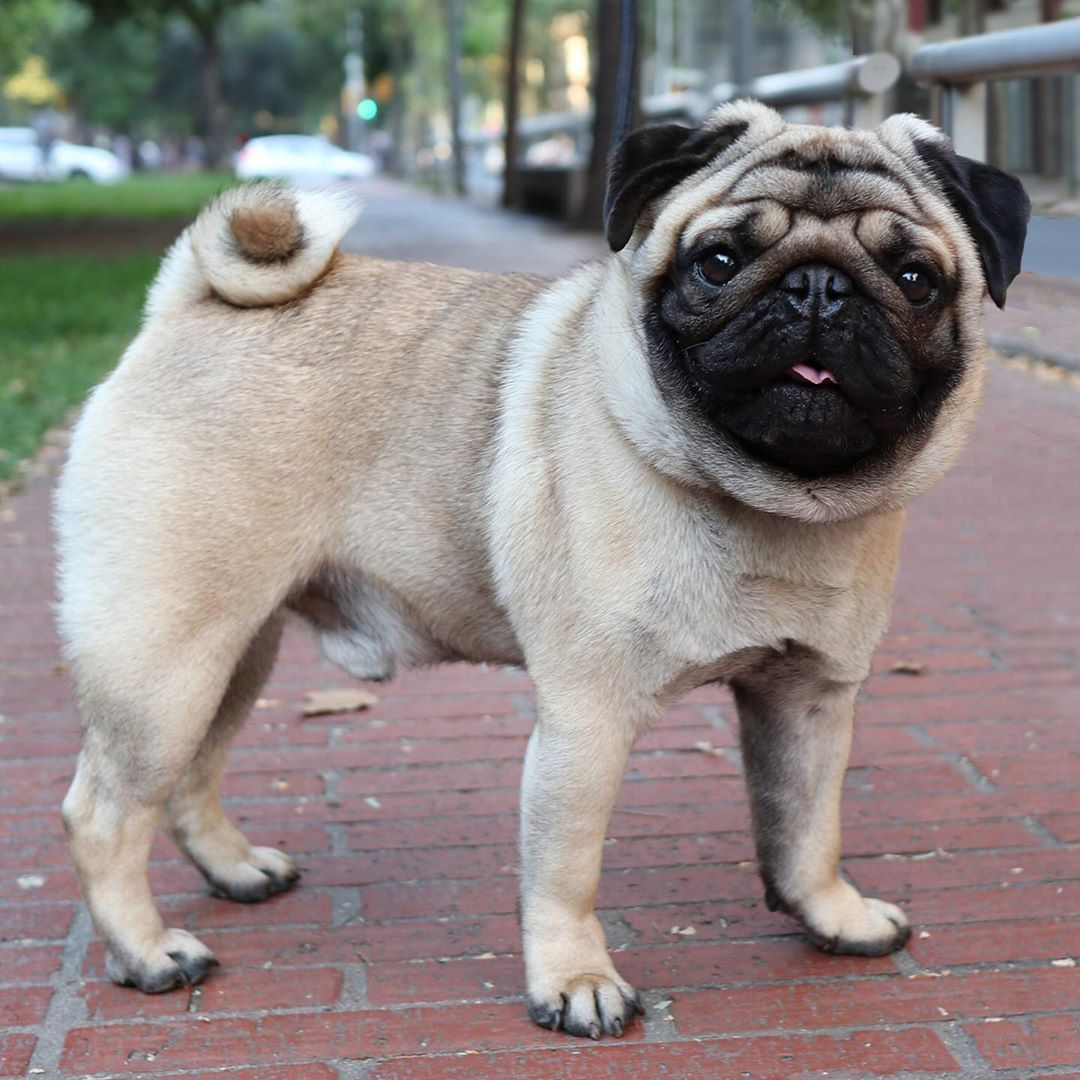 Pin By Laura Young On Pugs In 2019 Pug Puppies Pugs Bebes Pugs