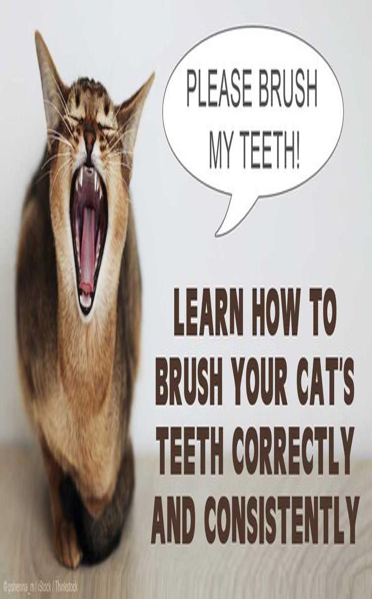 How to brush your c ats teeth cat health cat grooming cats