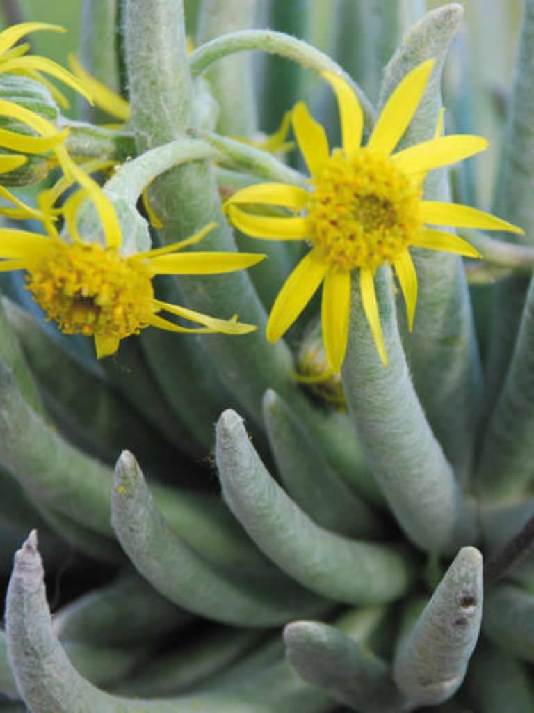 Senecio scaposus is a stemless or nearly stemless small succulent plant, up to 12 inches (30 cm) tall, with up to 4 inches (10 cm) long...
