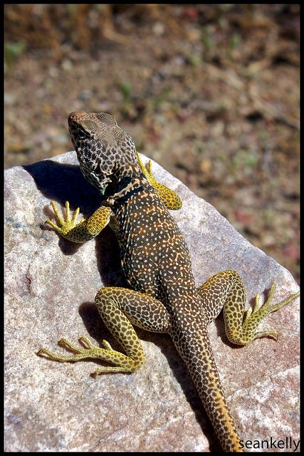 Lizards everywhere! | Flickr - Photo Sharing!