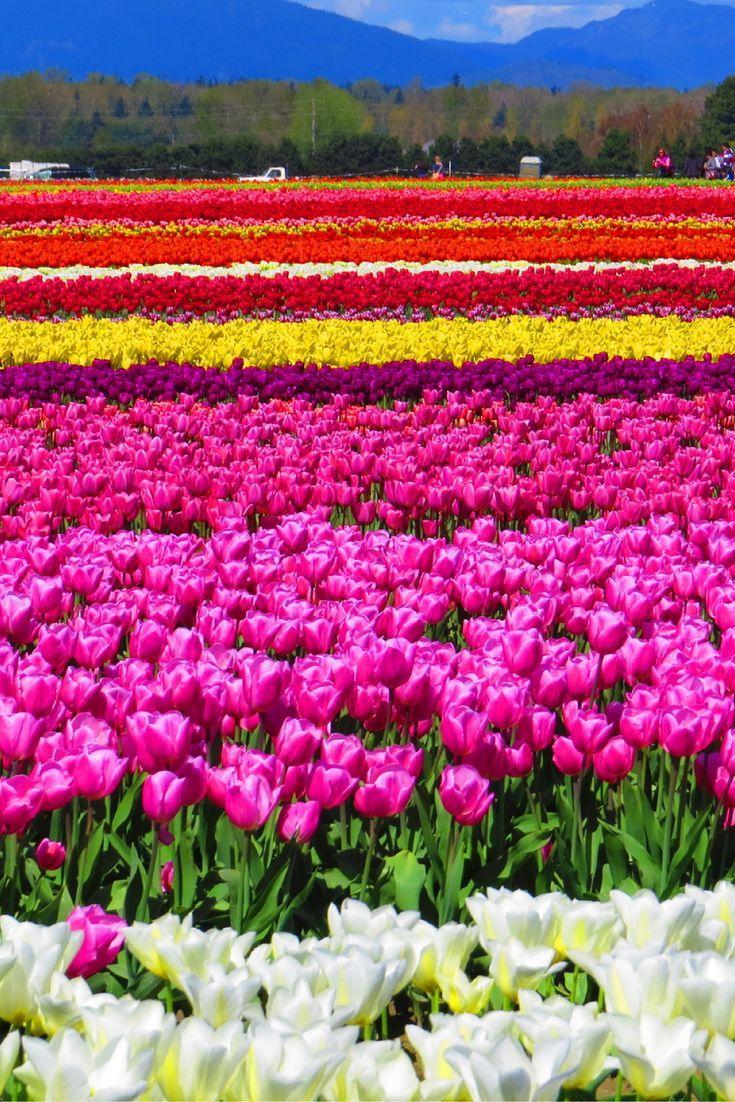 Tulips Galore at Skagit Valley Tulip Festival in Washington