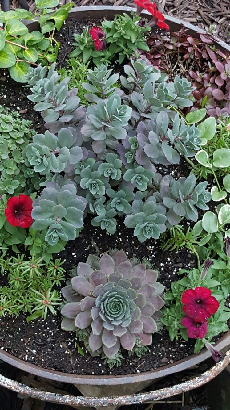 Sedum Cloud Walker In The Center Of The Container Jardinage