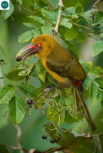 https://www.facebook.com/WonderBirdSpecies/ Saffron toucanet (Pteroglossus bailloni); South America: Argentina, Brazil, and Paraguay.; IUCN Red List of Threatened Species 3.1 : Near Threatened (NT)(Loài sắp bị đe dọa)    Chim Toucan nghệ; Nam Mỹ: Argentina, Brazil, và Paraguay.; Họ Toucan-Ramphastidae.
