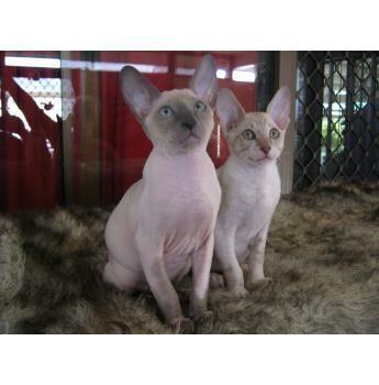 Vixanne Cornish Rex Cat Breeder Brisbane Qld Vixanne Cornish Rex Kittens Rex Cat Cornish Rex Pedigree Cats