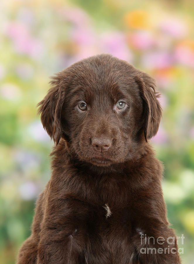 Liver Flat Coated Retriever Puppy By Mark Taylor Retriever Puppy