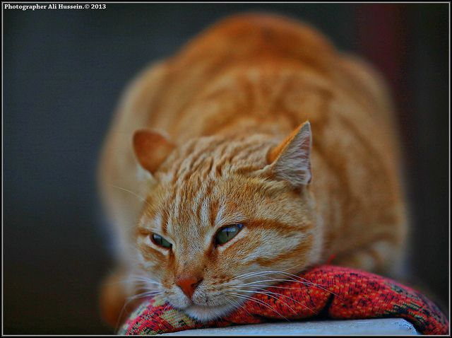 #cat #chat #roux #red