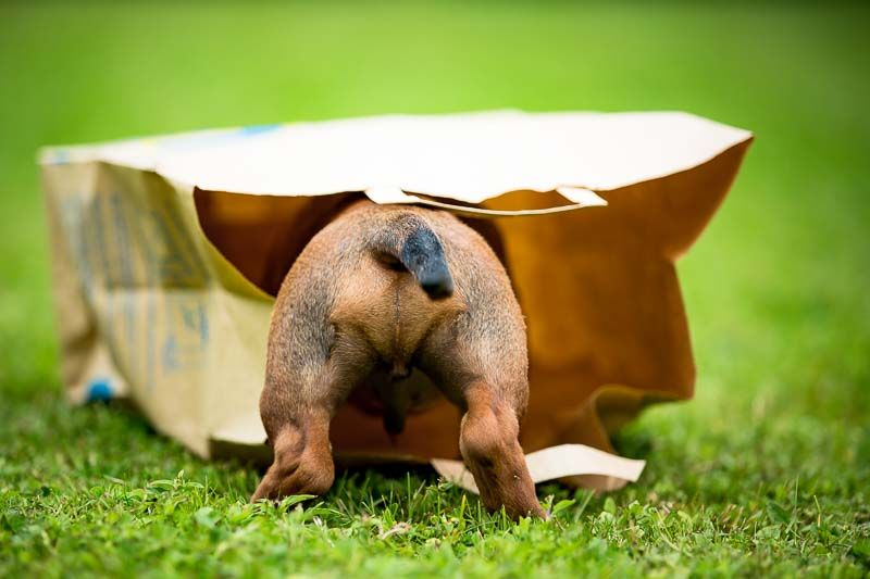 Dackel Welpe Dachshound Puppy Hunde Dog Hundefotografie Pferde Fotografie Hundebilder