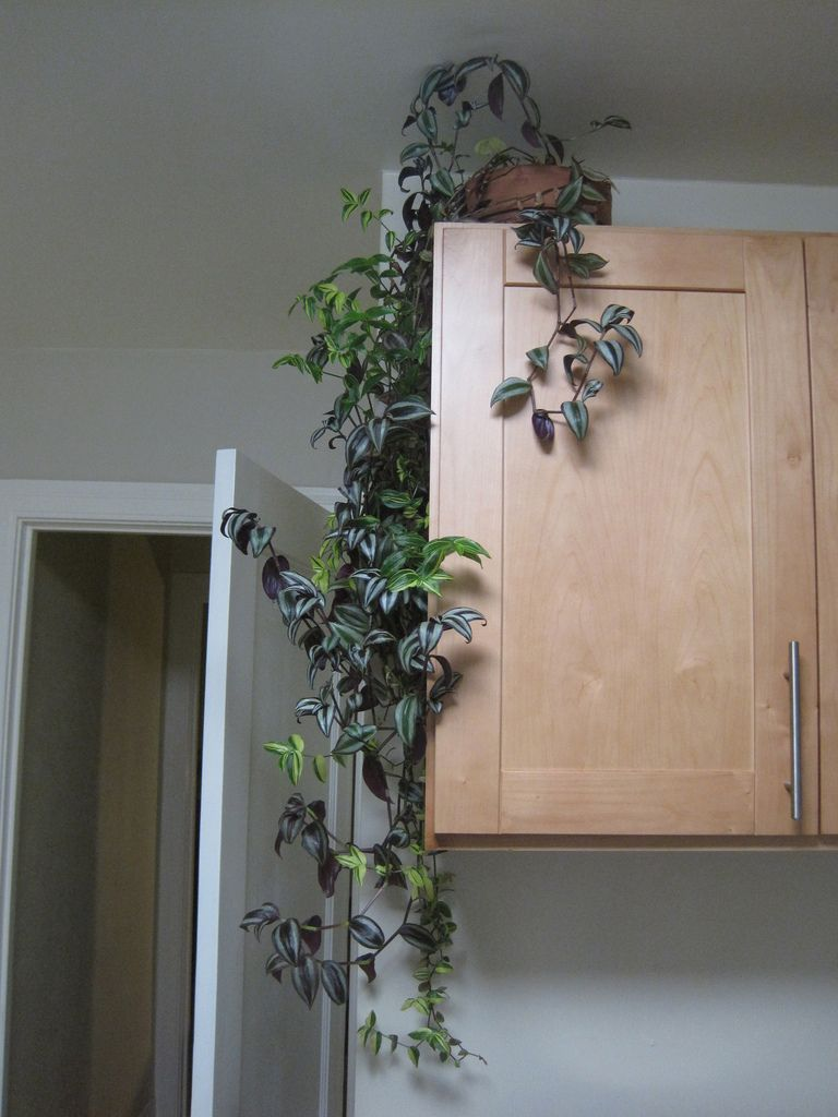Indoor climbing plants how to grow climbing houseplants for What plants can i grow indoors