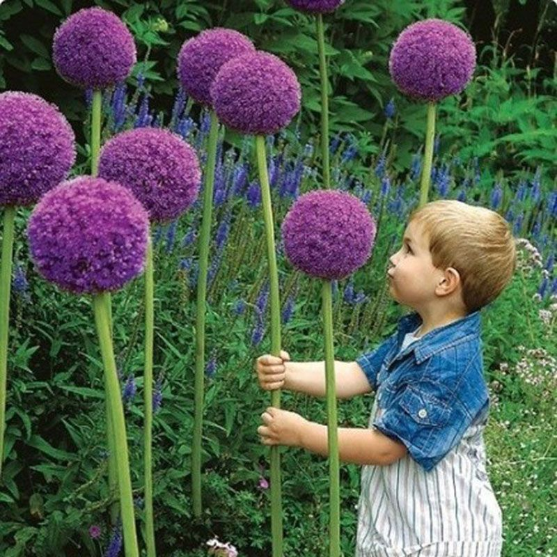 Purple Giant Allium Beautiful Flower Seeds Garden Plant Rare 30 Particles Lot In