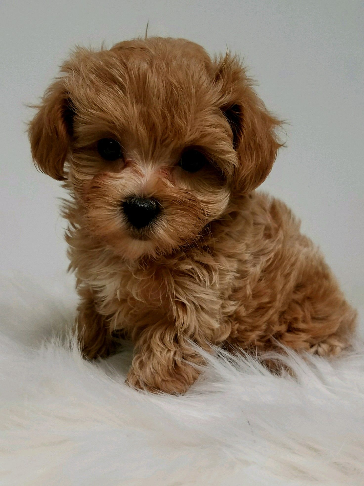 Designer And Mix Puppies Morkies Maltipoos Red Maltipoos Yorkshire Terrier Shih Tzu Havanese Toy And Teacup Poodles Cute Dogs Breeds Puppies Yorkie Poo