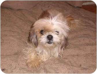 Adopt A Pet Cher Austin Tx Shih Tzu Shih Tzu Pet Adoption Pets