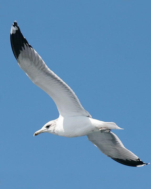 California Gull (Larus californicus)