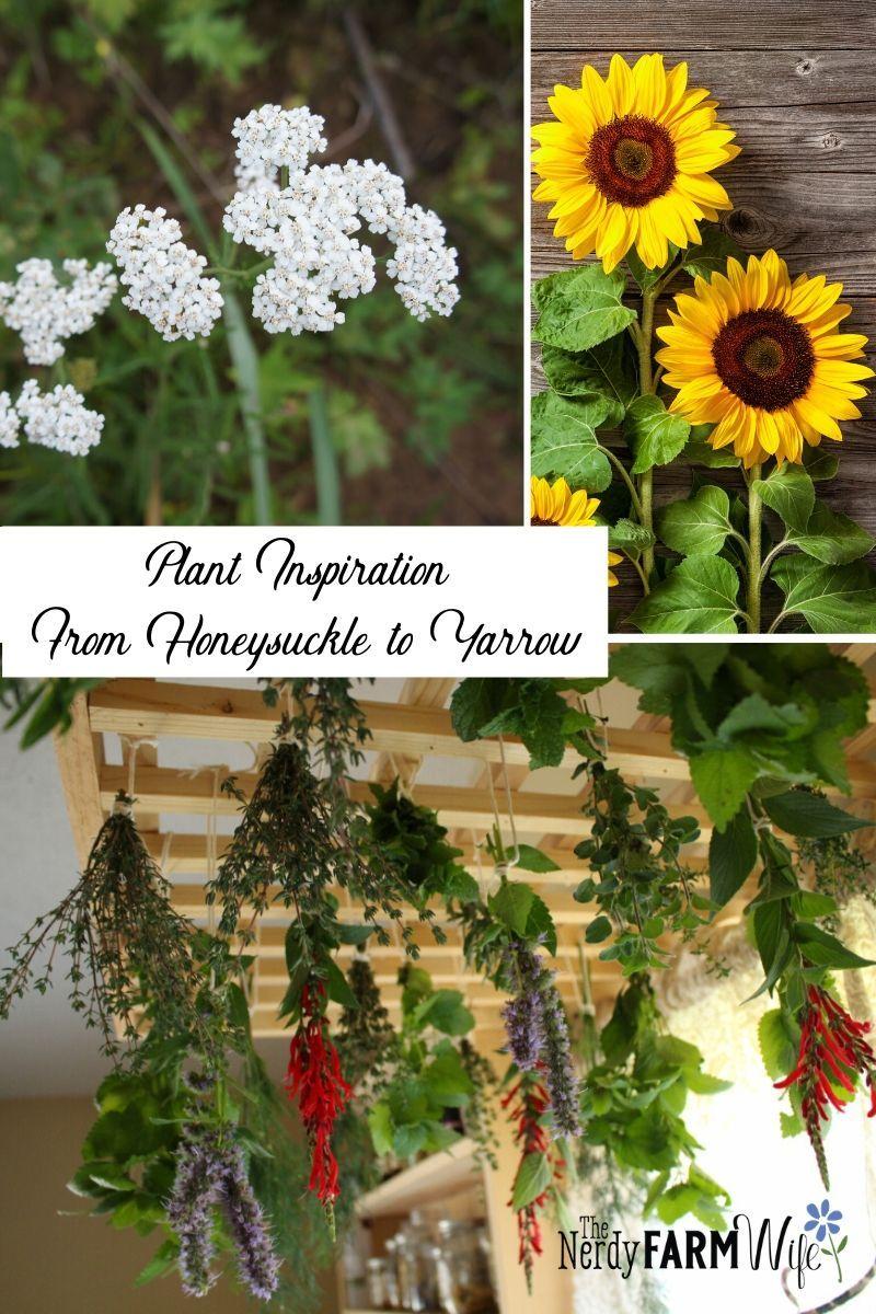 Projects Using Honeysuckle To Yarrow In 2020 Yarrow Plants Honeysuckle