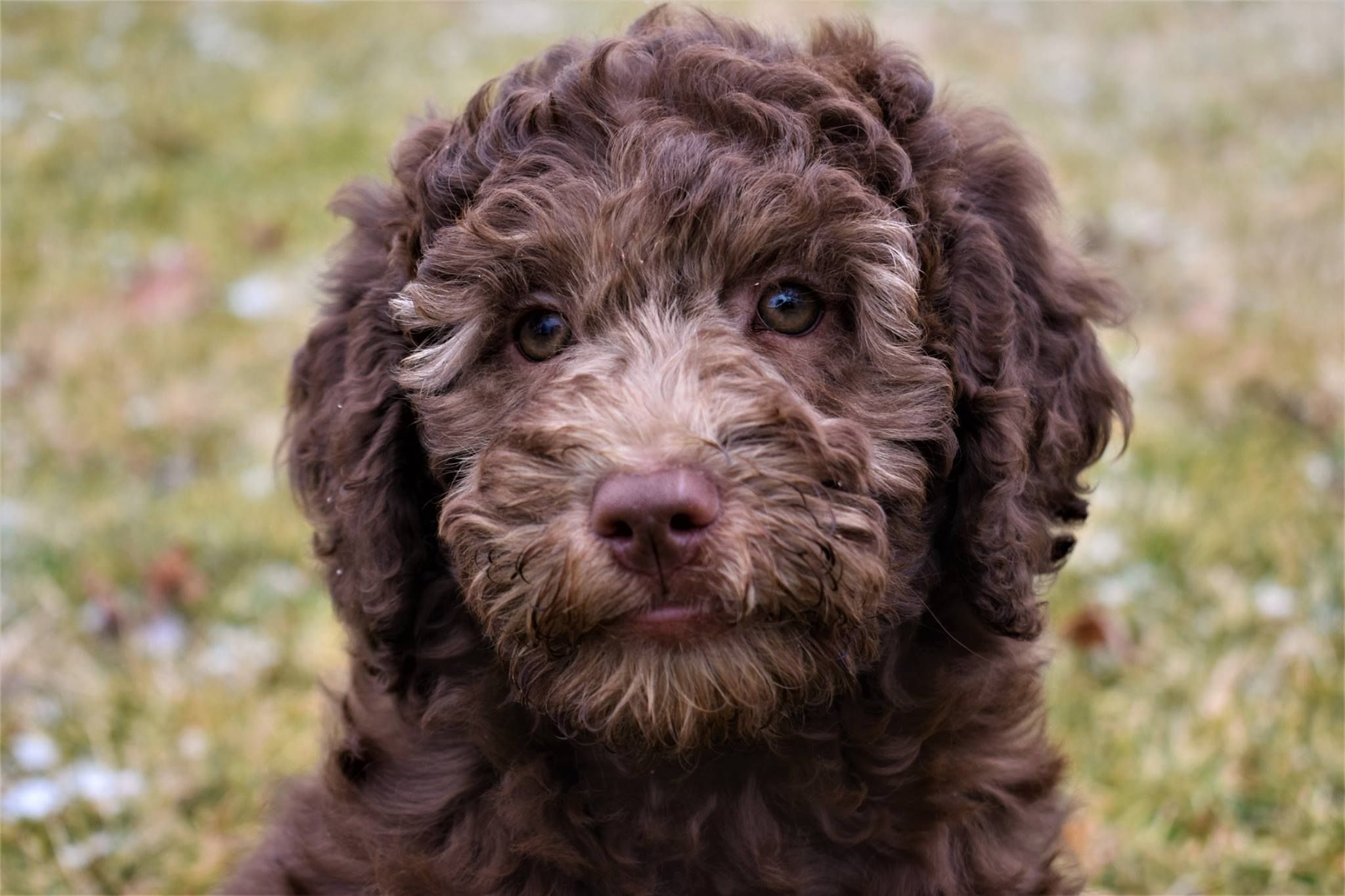 Lauderdoodles Retired Breeders Obedience Trained Obedience Training Cute Animals Goldendoodle