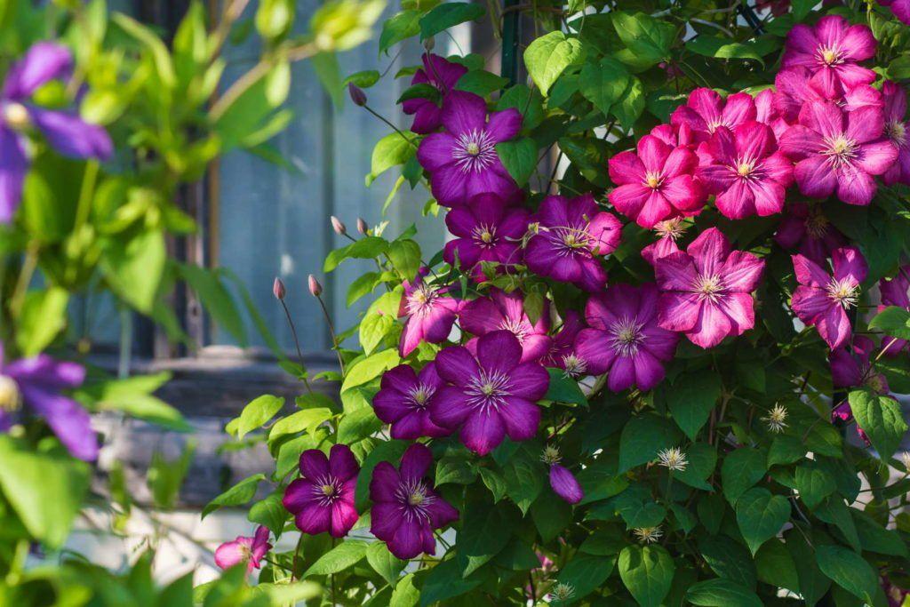 Winterharte Kletterpflanzen: Robuste Sorten für den Winter