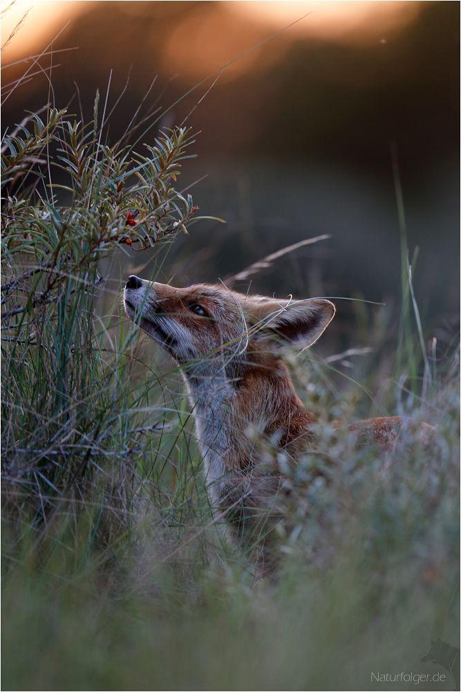 Interesse Krafttier Rotfuchs Tiere Wild
