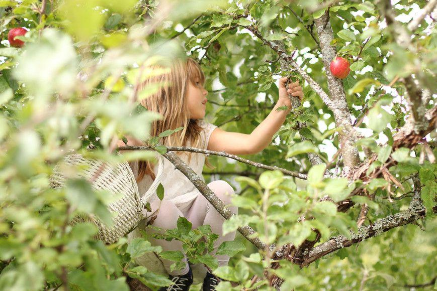 Plukk eplene!  Applepicking!