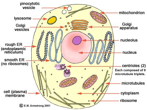 Basic structure of a eukaryotic cell. Eukaryotes (plants, animals ...