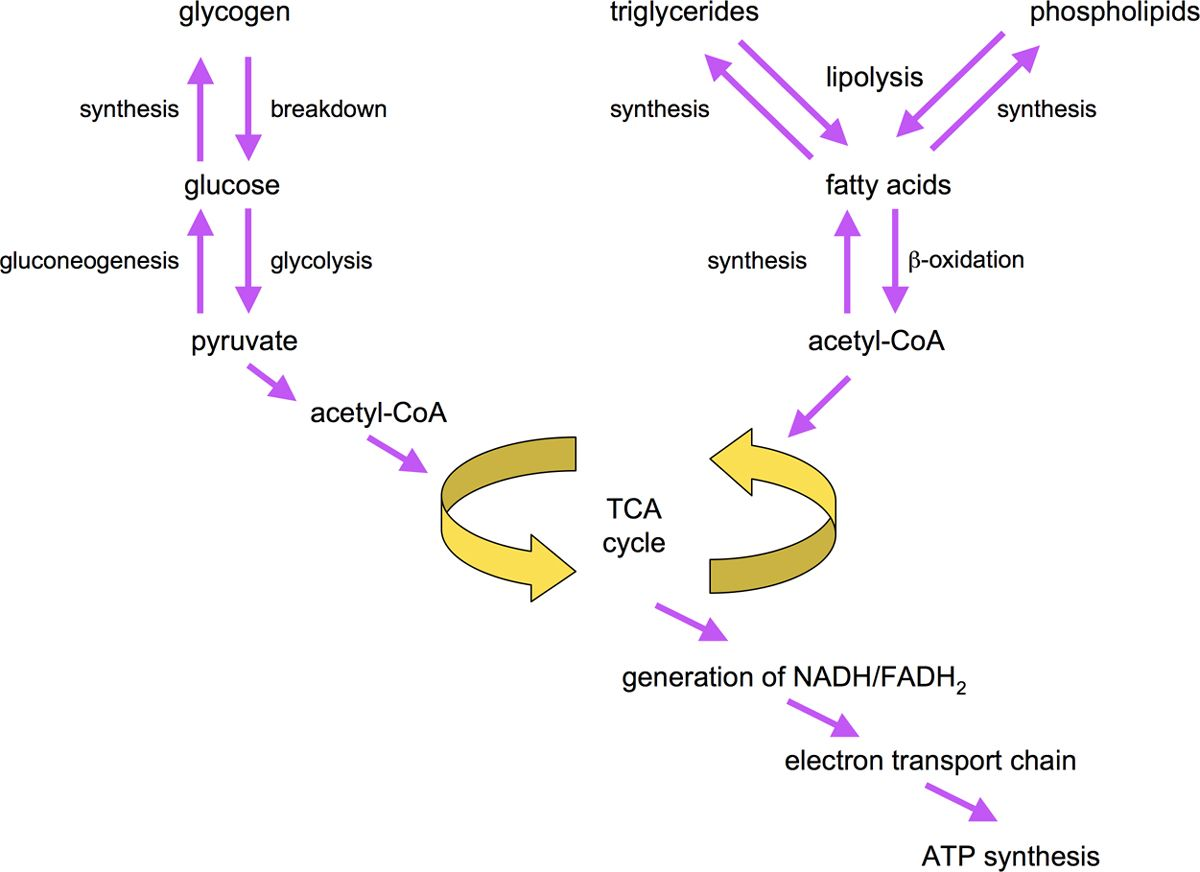 what is the site of lipid synthesis