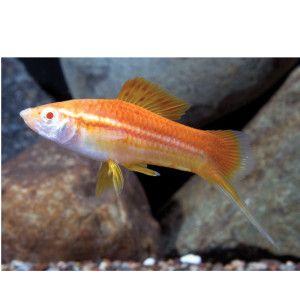Petsmart Lemon Swordtail Live Fish Petsmart Aquarium Fish Pet Fish Freshwater Aquarium Fish