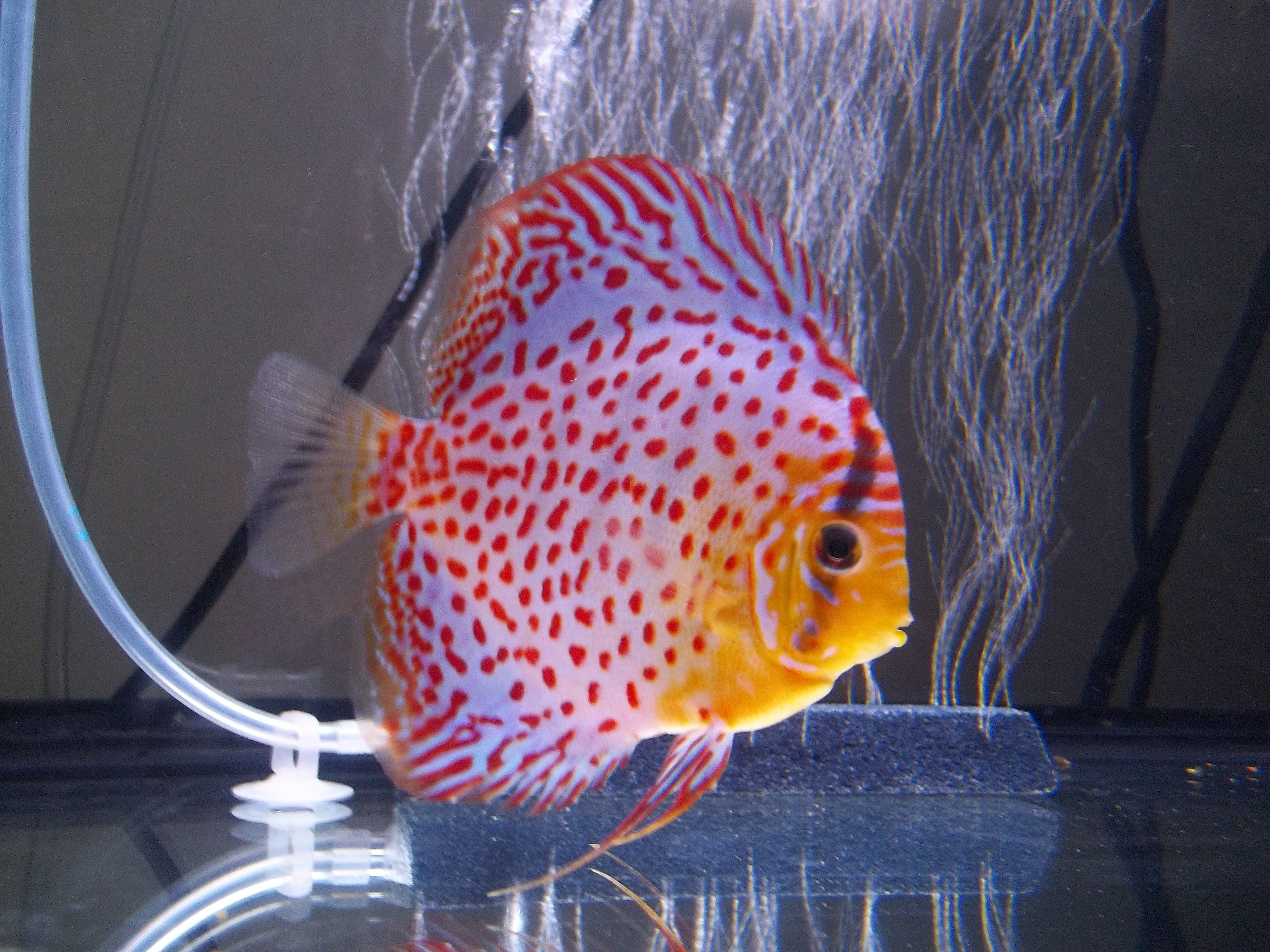111 best Cool Discus images on Pinterest