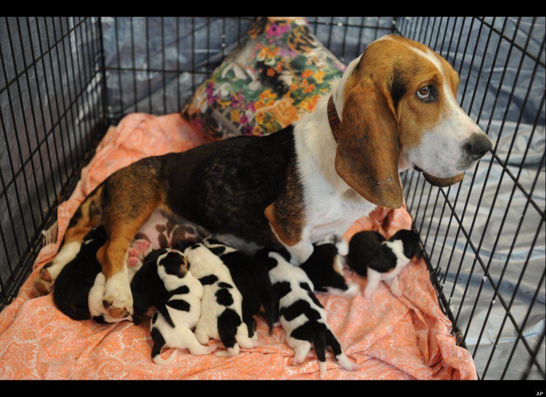 So Cute Dog Helps Elderly Owner Basset Puppies Basset Hound Dogs