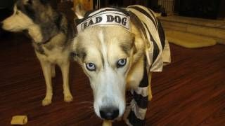 Go to http://halloweencostumestore.net/go for your Halloween costumes Dog Freezes in Halloween Costume Funny Must See - Siberian Husky