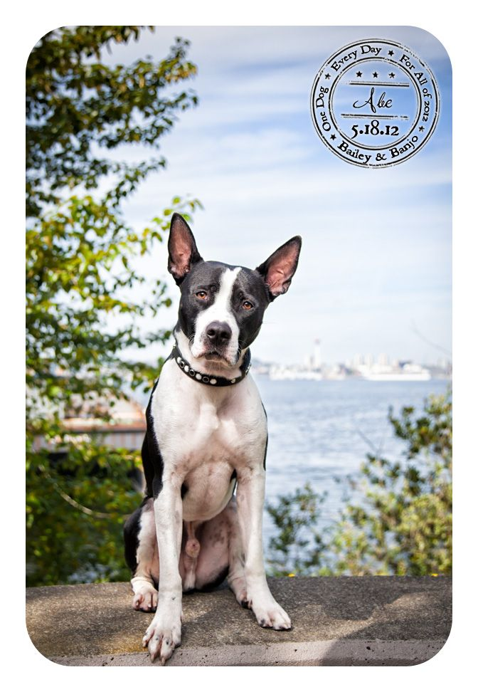 Dog A Day For Canine Cancer American Pitbull Terrier Seattle