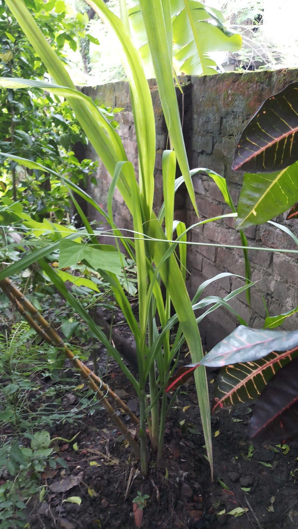 Pin by bablu mandal on sgc plants garden