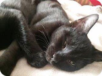 Bulverde Tx Domestic Shorthair Meet Hercules 2 A Kitten For