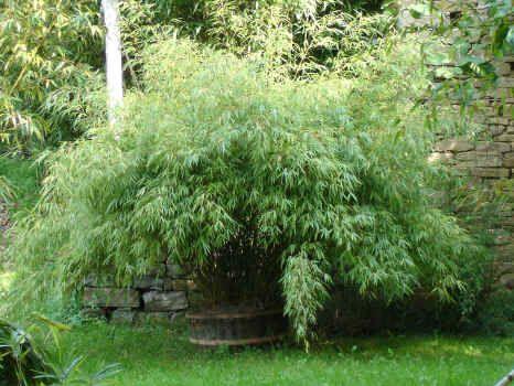 Fargesia rufa. Small bamboo. Height: 7-8 ft.   Fargesia bamboos ...