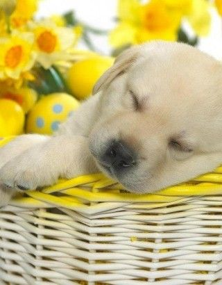 Puppy In A Basket Perfect Please Check Out My Website Thanks Www Photopix Co Nz Sleeping Puppies Puppies Cute Dog Photos