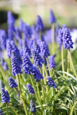My favorite Spring flower