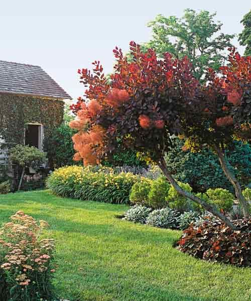 Saltcedar Alternative Smoke Bush Smoke Bush Smoke Tree Plants