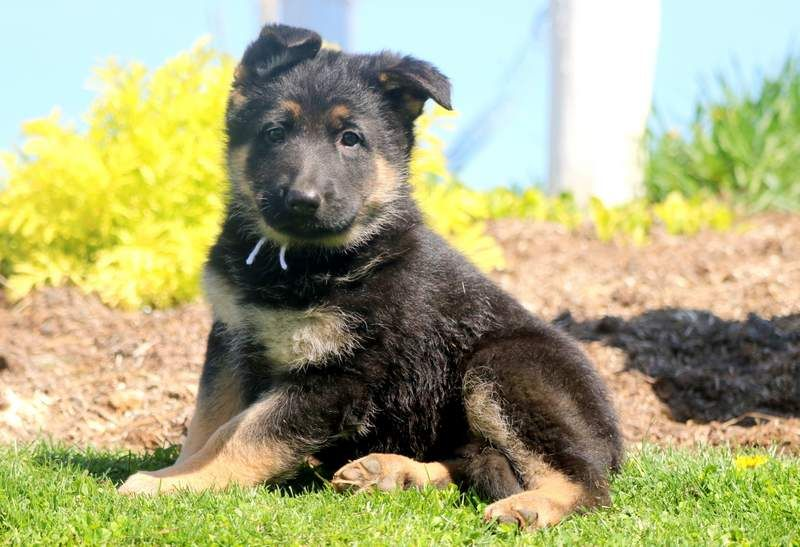 Spring Puppies German Shepherd Mix Puppies Puppies For Sale