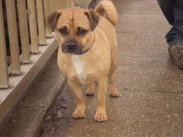 Jug Dog Jack Russell Terrier Pug Mix Info Temperament Pet Care