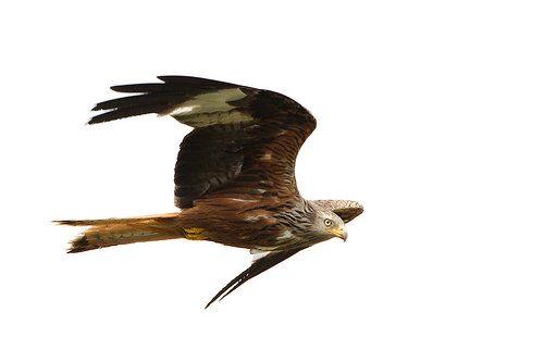 _MGL7909 Rød Glente - Red Kite - Milvus milvus   Flickr - Photo Sharing!