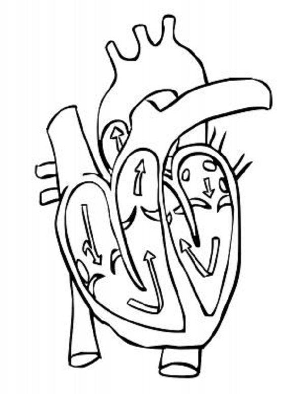 Pinned From Site Directly Heart Diagram Coloring Page