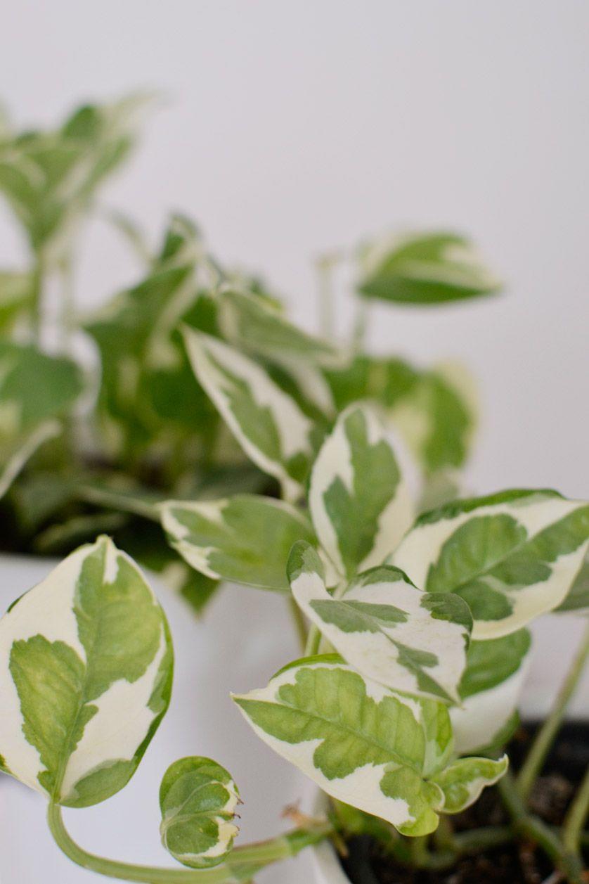Rosliny Doniczkowe Zwisajace Pnace Rosliny W Moim Domu Plant Leaves Plants Leaves