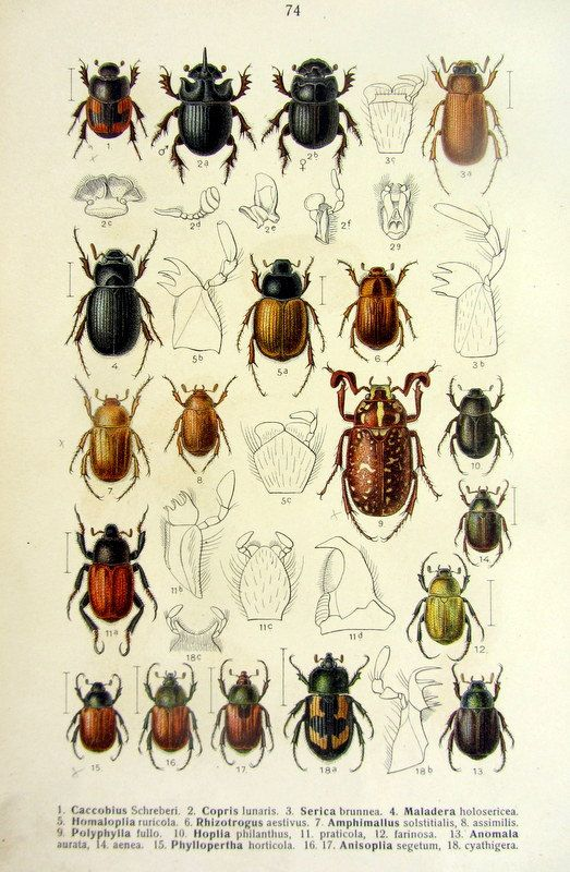 Vintage German 1912 beetles engraving, antique INSECTS color print, Polyphylla fullo dung beetles COLEOPTERA  scarabs entomology lithograph.