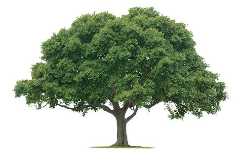 Live Oak Tree Nature Tree Tree Removal Tree Images