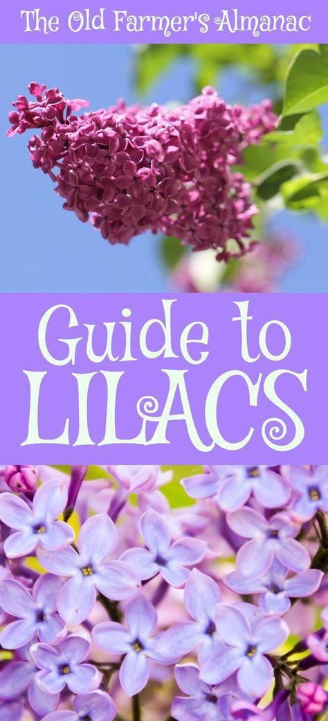 The Complete Old Farmer S Almanac Guide To Lilacs How To Plant Grow And Cultivate Lilacs Information For Li Lilac Tree Lilac Plant Beautiful Flowers Garden