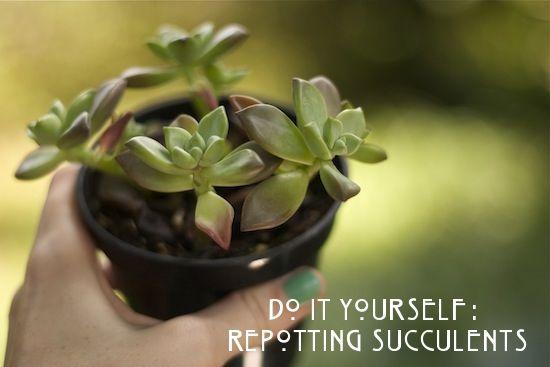 How To Repot Succulents Repotting Succulents Succulents Planting Succulents