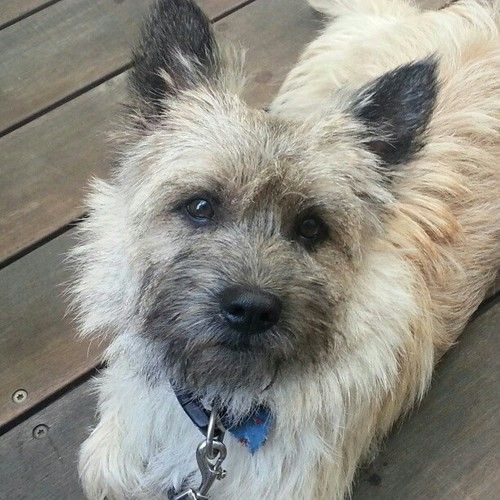 Pin By Claudia Pridor On Pets Dogs Puppies Cairn Terrier
