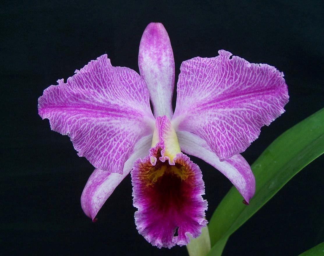 Cattleya Percivaliana Remolache Exotische Blumen Orchideen