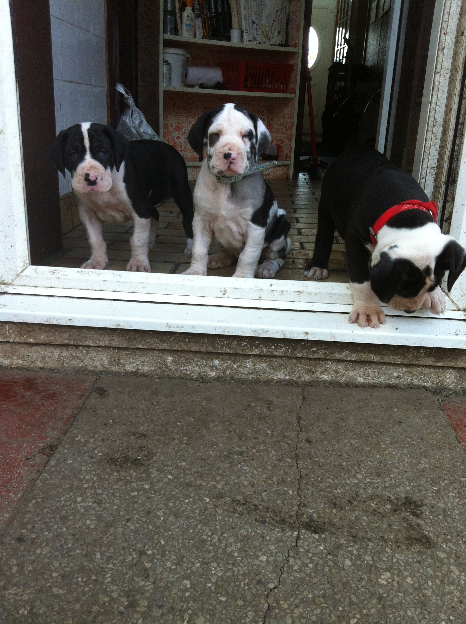 Puppies Trying The Great Outdoors Mantle Great Danes And Friends