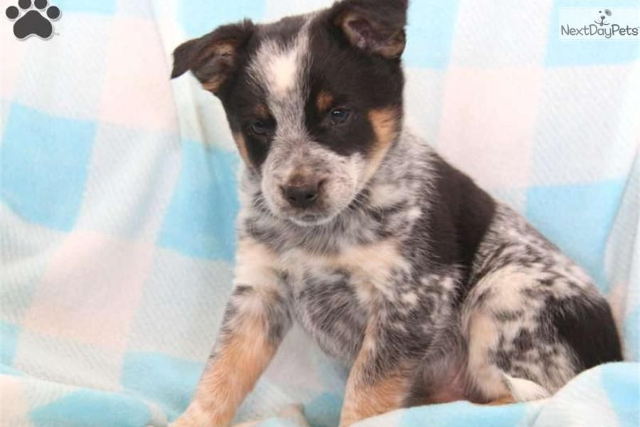 Rascal Blue Heeler Australian Cattle Dog Blue Heeler Cattle Dog Blue Heeler