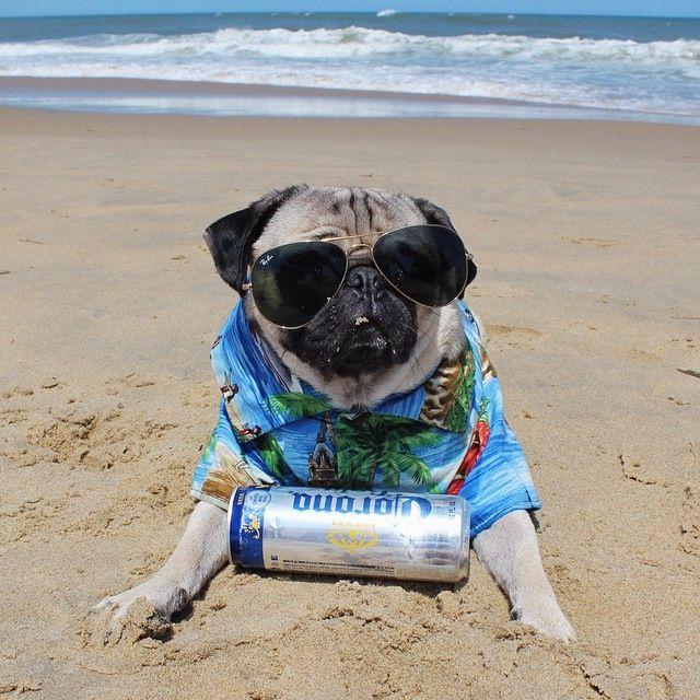 Doug The Pug Just Chillin On The Beach Perros Pugs