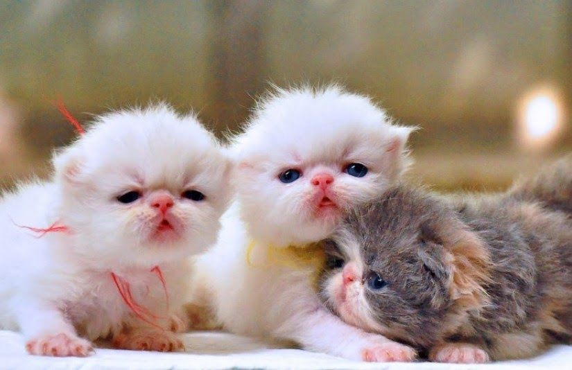 Gambar Anak Kucing Lucu Banget 1000 Ekspresi Tingkah Gambar Kucing Lucu Galau Cute Dan Comel 13 Foto Kucing Diedit Anak Kucing Lucu Gambar Kucing Lucu Kucing